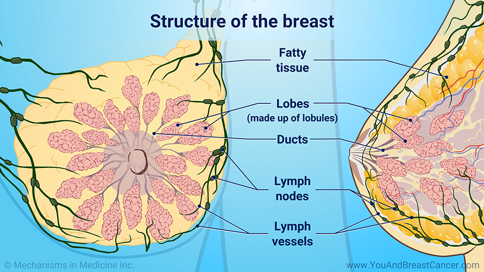 Structure of the breast